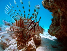 Pterois volitans - rdece morje