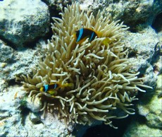 anemona in amphiprion clarkii Egipt