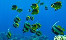 morske ribe - rdece morje