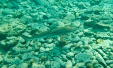 BLACK TIP SHARK ON SHARK ISLAND