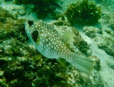 BLOW FISH PHILIPPINES