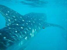WHALE SHARK FILIPINI