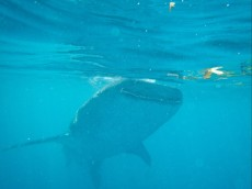 WHALE SHARK PANGLAO