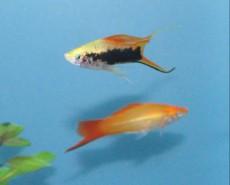 prodaja sladkovodnih rib