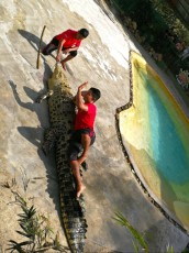 Crocodil show