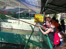 Crocodilfarm hranjenje krokodilov