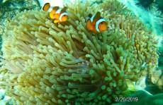 coralreef nemo Ko Lipe