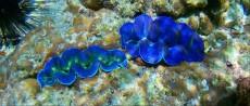 coralreef skoljka Ko Lipe