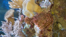Quadricolor anemona