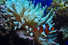 anemona in nemo