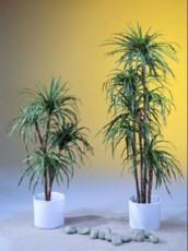 Palma Yucca